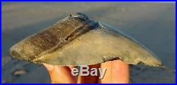 Huge 4.70 MEGALODON Shark Tooth Sharp All Natural Coastal United States